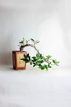 "Green Mountain Fig Bonsai Tree ""Summer Tropical Collection by LiveBonsaiTree"" by LiveBonsaiTree on Etsy"