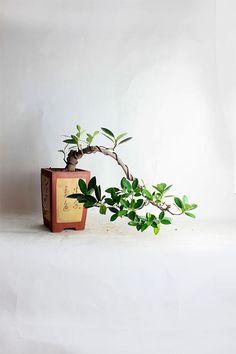 "Green Mountain Fig Bonsai Tree ""Summer Tropical Collection by LiveBonsaiTree"" by LiveBonsaiTree on Etsy"