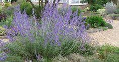 Mediterran wirkender Halbstrauch mit graufilzigem Laub und violetten Blüten. perovskia/ Blauraute