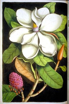 Botanical - Tree - Catesby - Magnolia      The natural history of Carolina, Florida, and the Bahama Islands. Catesby, Mark (1683-1749), and Edwards, George (1694-1773). Scan of 2 d images in the public domain believed to be free to use without restriction in the US.