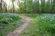 Bull Run Bluebell Trail verginia/ washington dc - april