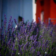 Lavendler i Assens #visitfyn #fyn #nature #nature_perfection #VisitDenmark #naturelovers #mothernature #natur #denmark #danmark #dänemark #landscape #assensnatur #assens #mitassens #vildmedfyn #fynerfin #vielskernaturen #visitassens #instapic #picoftheday #udinaturen #sommer #summer2016 #lavendel #igscandinavia
