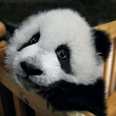 Hope for the future - pandas are popular ambassadors for wildlife conservation.