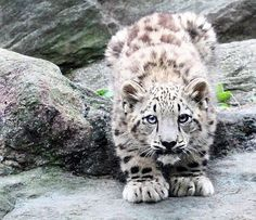 Snow Leopard Cub. It's fun to think that my Bengal babies' great grandpa looked liked this :-)