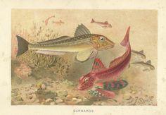 Gurnards by P J Smit Chromolithograph colour antique Print 1894