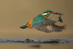 kingfisher diving - Google Search