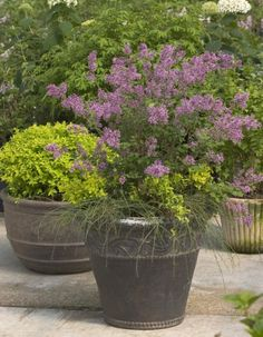 Bloomerang Lilacs - blooms in spring and summer