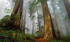 Bosque de secuoyas Monte Cabezón (Cantabria). Estos árboles se plantaron a partir de 1940, proceden de EEUU