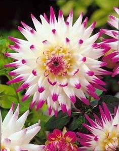Rare Dahlia bonsai,sweet potatoes Dahlia flower plant,Beautiful Perennial Flowers Dahlia pinnata flores for Home garden 100 plan All Flowers, Exotic Flowers, Amazing Flowers, Colorful Flowers, Beautiful Flowers, Dahlia Flowers, Happy Flowers, Beautiful Gorgeous, Purple Flowers