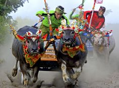 "Men competing in a buffalo race in Jembrana, Bali, on August 12, 2012. More than three hundred buffaloes ran in the ""Mekepung,"" or buffalo race, a thanksgiving ritual after a successful harvest. (AP Photo/Firdia Lisnawati)."