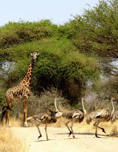 Ostrich and giraffe. James Dorsey photos