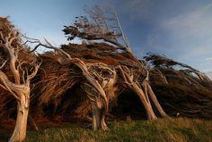 Bomen vervormd door hevige wind vanaf Antartica
