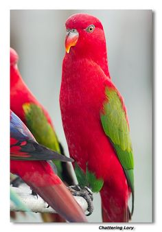 Chattering Lory-Love the Lory Family :)