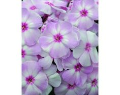 Phlox, Tall Garden, Candy Store™ Cotton Candy - Perennials - Plants - TheTreeFarm.com