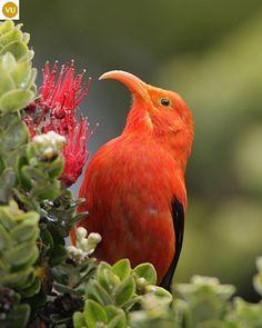 Hawaiian Goddess, Most Beautiful Birds, Bird Gif, Bird Perch, Vertebrates, Exotic Birds, Animal Paintings, Habitats, Wildlife