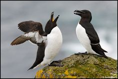 Razorbills, only comes to land to breed, N Atlantic coasts