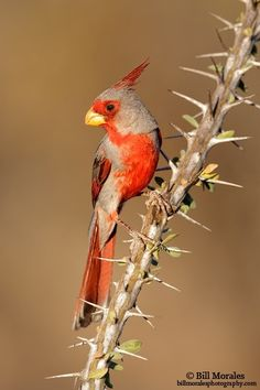 "The Pyrrhuloxia, ""Gray Cardinal,"" is found in desert brush and along streambeds."