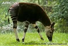 Okapi grazing, captive