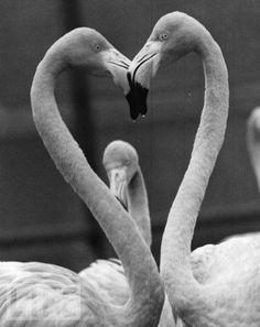 Flamingos love heart