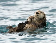 Funny pictures about 25 Of The Best Parenting Moments In The Animal Kingdom. Oh, and cool pics about 25 Of The Best Parenting Moments In The Animal Kingdom. Also, 25 Of The Best Parenting Moments In The Animal Kingdom photos. Animals And Pets, Baby Animals, Funny Animals, Cute Animals, Wild Animals, Animal Babies, Baby Otters, Animal Kingdom, Otter Love