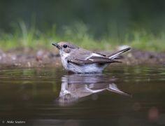 Gepind vanaf vroegevogels.vara.nl - Bonte Vliegenvanger