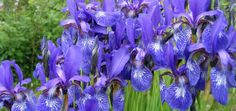 Today (Sun May, is… Iris Day Dates May each year Tagged as Nature & Environment Plants & Flowers Let's sit back and smell the Irises, my friends, because they are, at le… Spring Starts, Peace Lily, 25th Wedding Anniversary, Greenhouse Gardening, Days Of The Year, Plant Species, Daffodils, Spring Flowers, Special Day