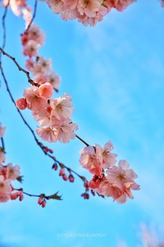Cherry blossoms in Stockholm 🌸 – Eat, Click, Travel and Repeat! Visit Stockholm, Spring Is Here, Time Of The Year, Cherry Blossoms, Repeat, Nature, Flowers, Plants, Travel