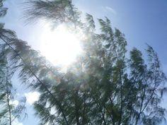 Seychelles christmas tree