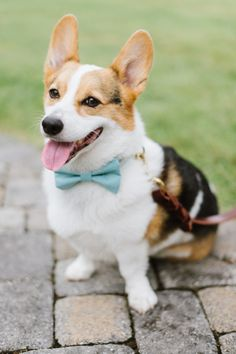 Corgi with a bowtie! http://www.stylemepretty.com/little-black-book-blog/2014/10/29/peach-summer-wedding-at-the-oaks/ | Photography: Natalie Franke - http://www.nataliefranke.com/