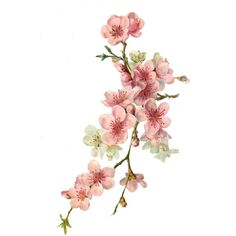 Cherry Blossom Tattoos 97900 Flower tubes page 4 Watercolor Flowers, Watercolor Paintings, Watercolor Tattoos, Abstract Watercolor, Cherry Blossom Painting, Blossom Tattoo, Photo Composition, Floral Illustrations, Botanical Art