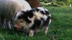 March in National Pig Day in America and we celebrate with all the adorable piggy photos and GIFs we could get our hands on. Cute Baby Pigs, Cute Piggies, Cute Babies, Happy Animals, Cute Baby Animals, Funny Animals, National Pig Day, Mini Pigs, Pet Pigs