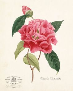 FRENCH CAMELIA RETICULATA GICLEE CANVAS ART PRINT This charming botanical has been adapted from an antique botanical illustration and has been digitally enhanced along with the addition of some French