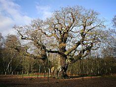Crédit photo : Marcin Floryan Le Major Oak -  forêt de chasse royale du Nottingham