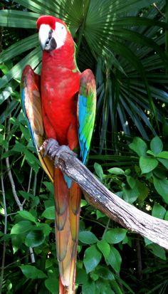 Guacamaya en español, macaw in english, mo en maya. #MaravillaNatural #XelHa #RivieraMaya #Mexico