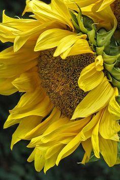 Sunflower Canvas Print / Canvas Art by Ann Bridges - Garten Fotografie Sunflowers And Daisies, Yellow Flowers, Sun Flowers, Growing Sunflowers, Oil Painting Flowers, Watercolor Flowers, Drawing Flowers, Happy Flowers, Beautiful Flowers