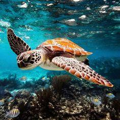 Meeresschildkröte - New Sites Save The Sea Turtles, Baby Sea Turtles, Cute Turtles, Beautiful Sea Creatures, Animals Beautiful, Beautiful Ocean, Sea Turtle Pictures, Sea Pictures, Turtle Love