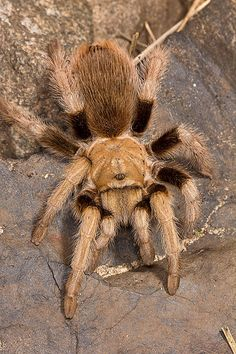 0.1 Aphonopelma sp. Paysoni, USA | Flickr - Photo Sharing! Funny Animal Pictures, Funny Animals, Pet Tarantula, Spiders And Snakes, Spider Girl, Bugs And Insects, Mundo Animal, Halloween Pictures, Pet Birds