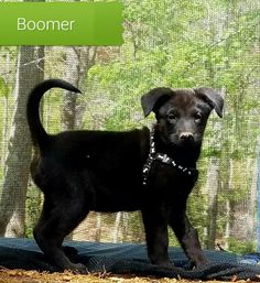 Meet BOOMER, an adoptable German Shepherd Dog looking for a forever home. If you're looking for a new pet to adopt or want information on how to get involved with adoptable pets, Petfinder.com is a great resource.