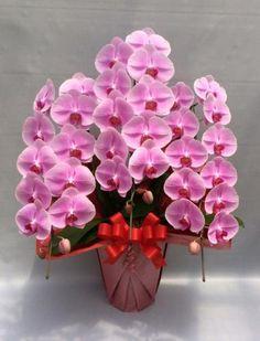 胡蝶蘭3本立 ファイン ピンク