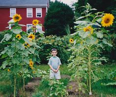 Types Of Sunflowers, Planting Sunflowers, Giant Sunflower, Sunflower Types, Painting Inspiration, Bing Images, Gallery, Garden, Plants