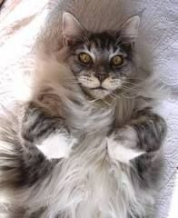 maine coon male cat - Google Search