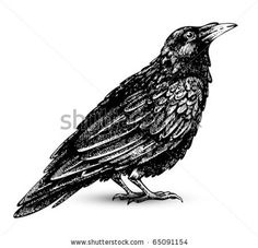 Raven drawing high quality vector by Kate Pru, via ShutterStock