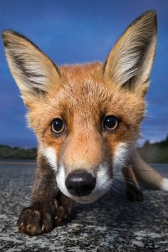 Red Fox by Anders Haukland Cute Creatures, Beautiful Creatures, Animals Beautiful, Animals And Pets, Cute Animals, Amazing Animal Pictures, Wild Animals Photography, Vida Natural, Fabulous Fox