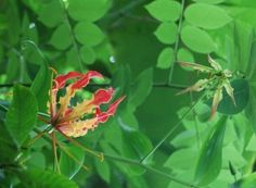 Gloriosa Lily Planting: Tips For Growing A Climbing Lily Plant