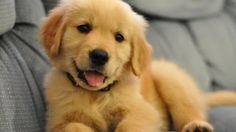 The Golden Retriever is the third most popular dog in the United States. For many people, the golden retriever is more or less the perfect dog. Cute Puppy Breeds, Cute Puppies, Dogs And Puppies, Dogs 101, Doggies, Dogs Golden Retriever, Retriever Puppy, Golden Retrievers, Funny Dog Videos