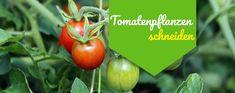 Deine Tomatenpflanzen wachsen munter und werden dabei auch immer breiter. Angesichts des grünen Dschungels im Beet fragst Du Dich: Muss man Tomaten eigentlich schneiden? 'Ausgeizen', 'Entblättern' und 'Entspitzen' nennt der Gärtner den Schnitt bei Tomaten in der Fachsprache. Hier erfährst Du, warum diese Schnittmaßnahmen notwendig sind und wie Du sie richtig durchführst. So schneidest Du ... Weiterlesen ...Tomatenpflanzen schneiden – so geht es richtig