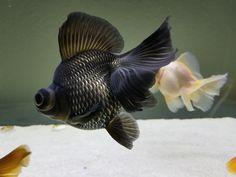 Blue Butterfly Telescope Goldfish