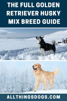 Thanks to the parent breeds, this mix is guaranteed to be affectionate, they will form a strong bond with you and your family. Find everything you need to know about a Golden Retriever Husky mix breed in our guide. Husky Breeds, Dog Breeds, Purebred Golden Retriever, Husky Mix, Mixed Breed, Dog Design, Dog Love, Bond