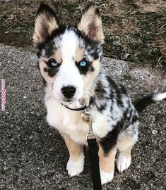 Husky and australian cattle dog mix australian shepherd dog breed information beliebte bilder different dog breeds dogs dogs breed dogs Cute Dogs Breeds, Best Dog Breeds, Cute Dogs And Puppies, Best Dogs, Cute Dog Mixes, Puppy Breeds, Cute Animals Puppies, Cute Dogs And Cats, Spitz Breeds
