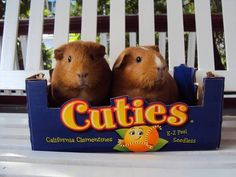 Cuties! Awe! My first pet was a guinea pig
